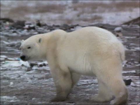 Polar bear (Ursus maritimus) walking through garbage dump on snowy day while scavenging for food / smoke from burning refuse heap drifting through air / Churchill, Manitoba, Canada