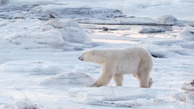 MS PAN Polar bear walking through snowy icy landscape / Churchill, Manitoba, Canada