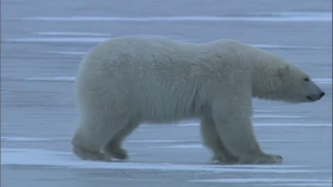 a polar bear walks across a frozen lake. - slippery stock videos & royalty-free footage