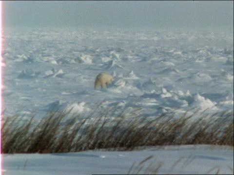 a polar bear walks across a snowy, windswept plain. - 水の形態点の映像素材/bロール