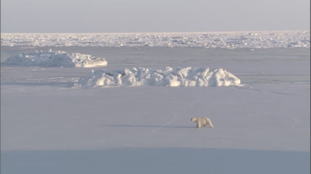 vidéos et rushes de a polar bear walks across an ice field with hills in svalbard, norway. - banquise flottante