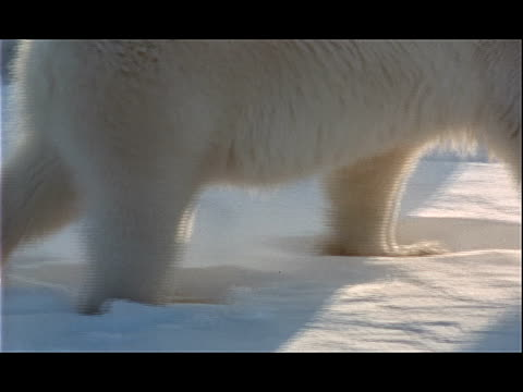 vídeos y material grabado en eventos de stock de a polar bear walks across snow-covered ground. - parte del cuerpo animal