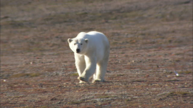 a polar bear walks across the tundra in svalbard, norway. - svalbard islands stock videos & royalty-free footage