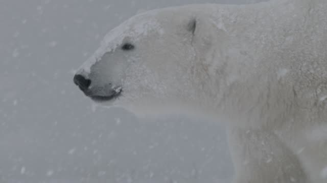 polar bear walks in snow storm, canada - arctic stock videos & royalty-free footage