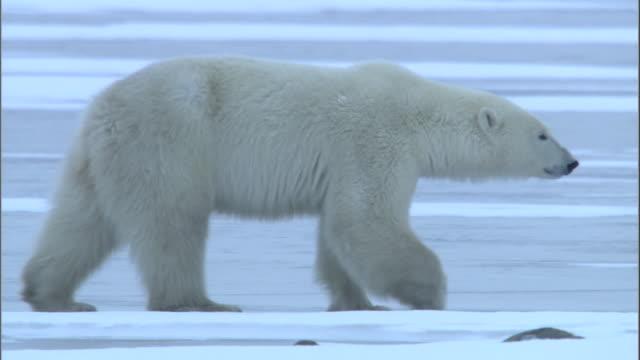 a polar bear walks on a frozen lake in churchill, canada. - ホッキョクグマ点の映像素材/bロール