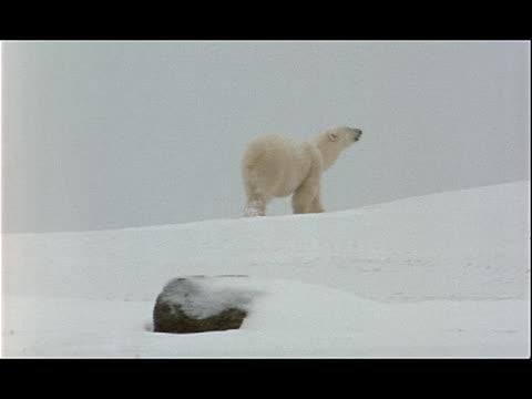 a polar bear walks on a snowy hill. - 水の形態点の映像素材/bロール