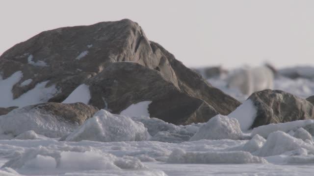 Polar bear walks on sea ice, Canada