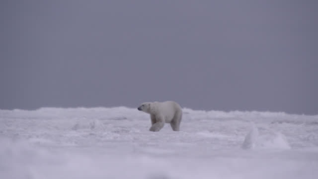 polar bear walks on sea ice, canada - arctic stock videos & royalty-free footage