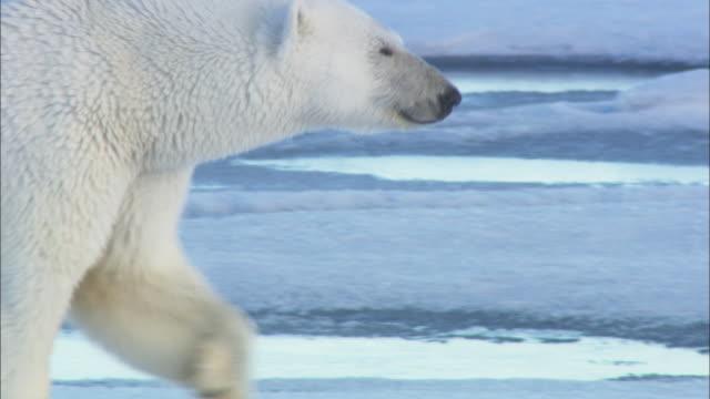 a polar bear walks over sea ice in svalbard, arctic norway. - くま点の映像素材/bロール