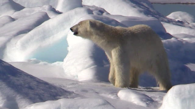 polar bear walks right to left, svalbard, norway - animals in the wild stock videos & royalty-free footage