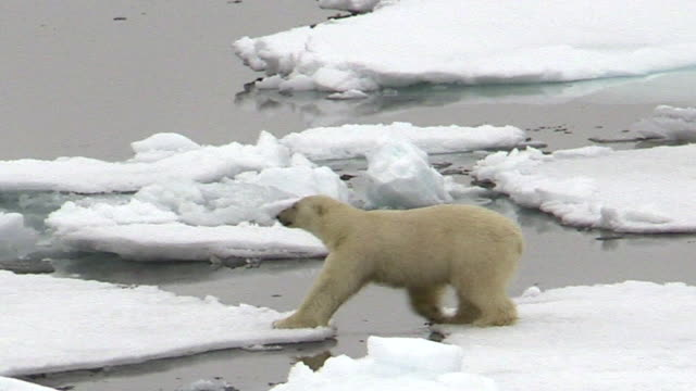 polar bear walks right to left, svalbard, norway - eis stock-videos und b-roll-filmmaterial