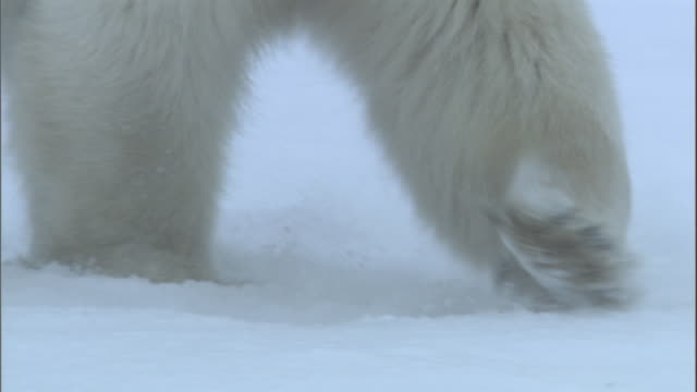 A polar bear walks through the snow in Churchill, Canada.