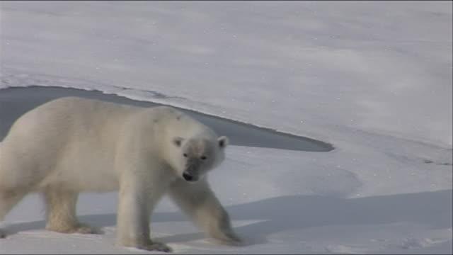 vídeos de stock e filmes b-roll de polar bear wandering across arctic ice shelf - animal em via de extinção