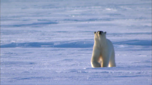 Polar bear wandering alone on Arctic glacier