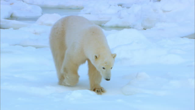 Polar bear wandering alone on snowfield