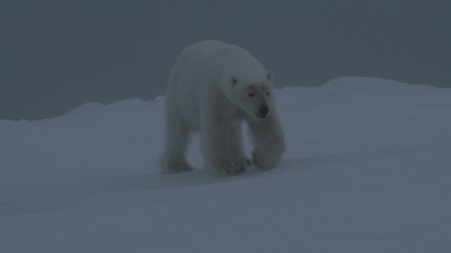 polar bear wanders over ice, svalbard, norway. - ice sheet stock videos and b-roll footage