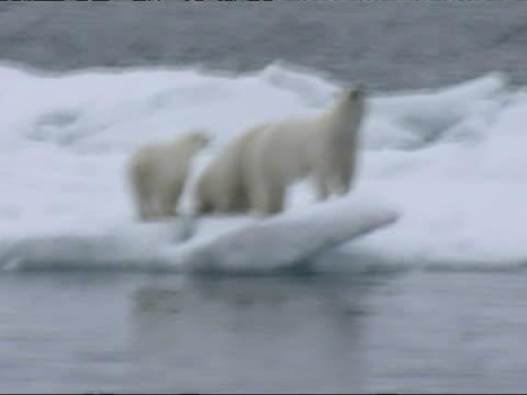 vídeos y material grabado en eventos de stock de polar bear with 2 cubs run and swim across melting ice floes - clima polar