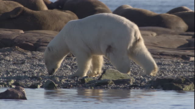 A polar bear with a walrus tusk injury limps near walruses on a beach in the Canadian Arctic. Available in HD.