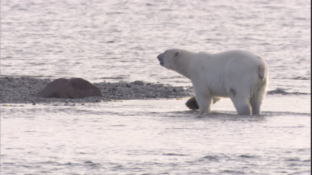 A polar bear with a walrus tusk injury wades in an arctic sea in Canada. Available in HD.