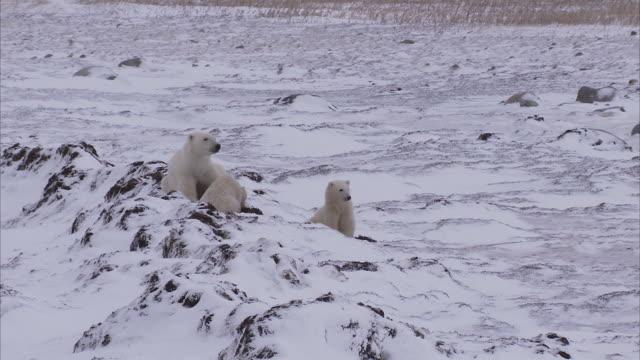 Polar bear with cubs feeding on kelp, Churchill, Manitoba, Canada