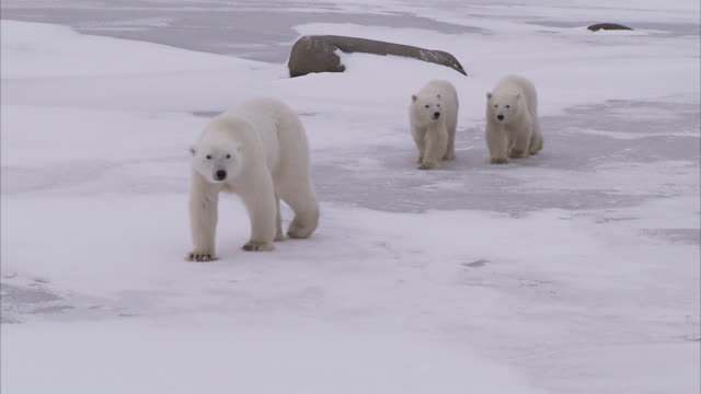 vídeos de stock e filmes b-roll de polar bear with cubs walking on ice, churchill, manitoba, canada - família animal
