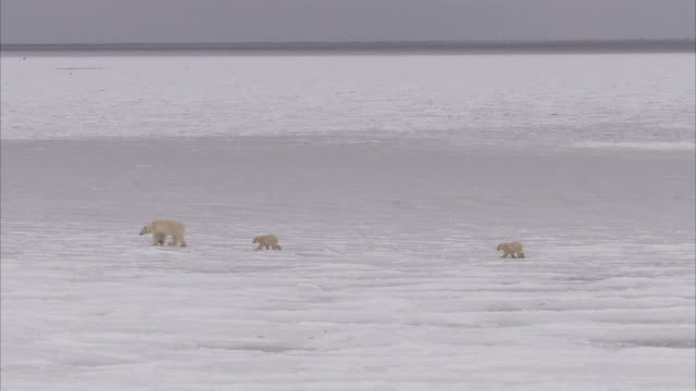 polar bear with cubs walking on ice, churchill, manitoba, canada - wide shot stock videos & royalty-free footage