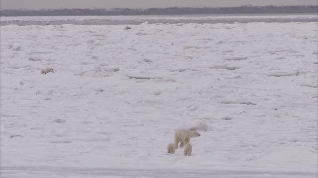 Polar bear with cubs walking on ice, Churchill, Manitoba, Canada