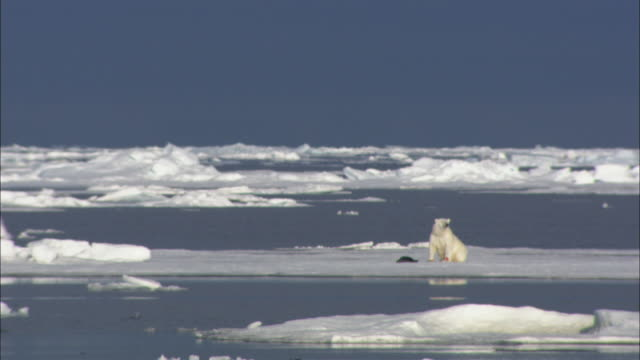 a polar bear with seal kill walks on sea ice in svalbard, arctic norway . - polarklima stock-videos und b-roll-filmmaterial