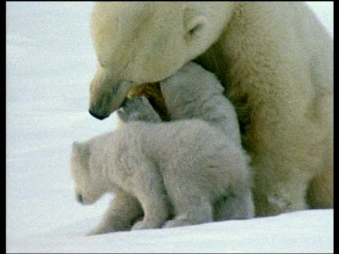 Polar bear with two cubs, cubs nuzzle mother, Arctic