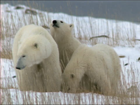 vídeos de stock e filmes b-roll de ms polar bear with two cubs standing on snow, eating - família animal