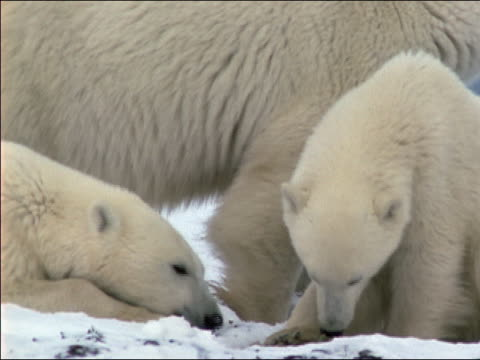 cu pan polar bear with two cubs standing on snow, eating - animal family stock videos & royalty-free footage