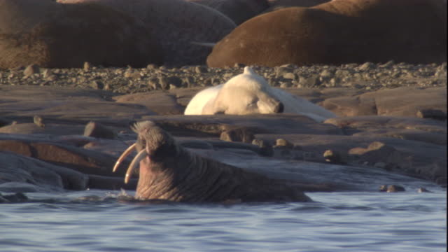 Polar bear with walrus tusk-wound lies amongst walrus colony. Available in HD.