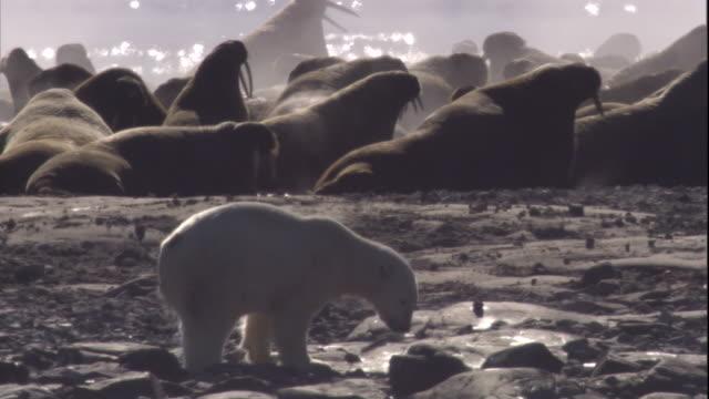 polar bear with walrus tusk-wound limps across a beach near colony of walruses. available in hd. - eisbär stock-videos und b-roll-filmmaterial