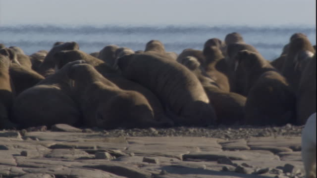 Polar bear with walrus tusk-wound watches colony. Available in HD.