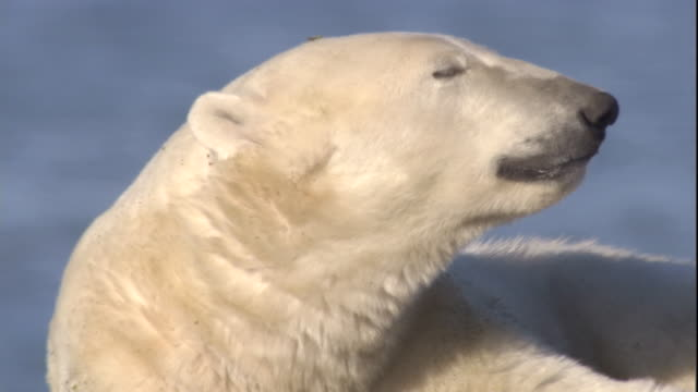 polar bear with walrus tusk-wound yawns. available in hd. - wounded stock videos & royalty-free footage