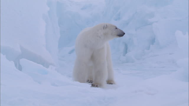 a polar bear yawn in the glacier at the north pole - polarklima stock-videos und b-roll-filmmaterial