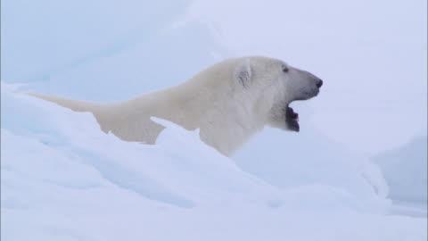 a polar bear yawns on the snow-covered ground at the north pole - nordpolen bildbanksvideor och videomaterial från bakom kulisserna