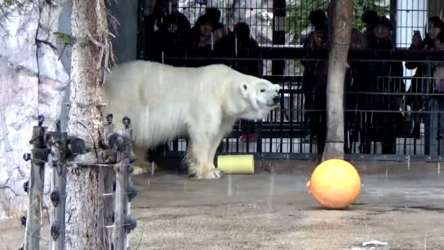 polar bears and penguins welcomed visitors at asahiyama zoo in asahikawa central hokkaido the northernmost main island of japan as the facility's... - kamikawa subprefecture stock videos and b-roll footage