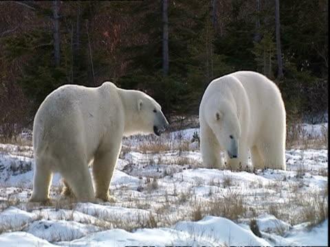 polar bears (ursus maritimus) approaching each other, near churchill, manitoba, canada - きまり悪さ点の映像素材/bロール