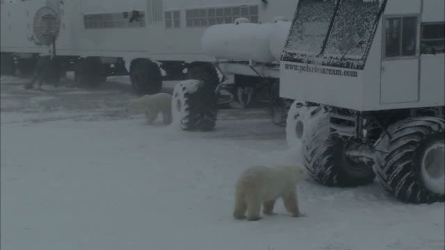 polar bears cautiously examine off-road vehicles. - aas fressen stock-videos und b-roll-filmmaterial