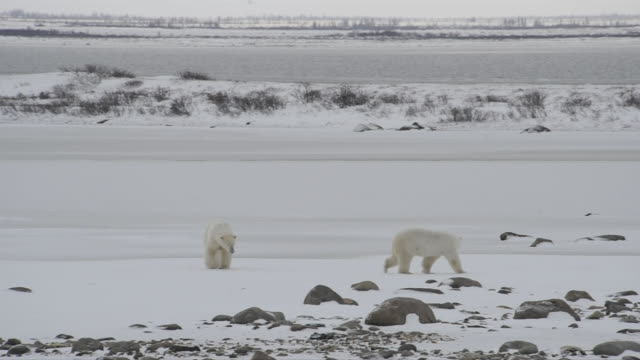 Polar bears explore a wide, snowy plain in Manitoba.