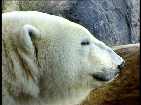 Polar bear's face with eyes blinking, turns to look at camera (in zoo)