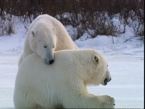 Polar bears (Ursus maritimus) flirting, near Churchill, Manitoba, Canada