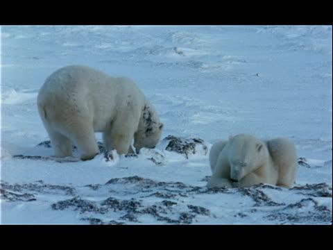 polar bears forage for food in arctic ice. - 水生植物点の映像素材/bロール
