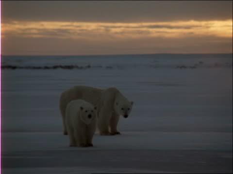 polar bears look for food. - 水の形態点の映像素材/bロール