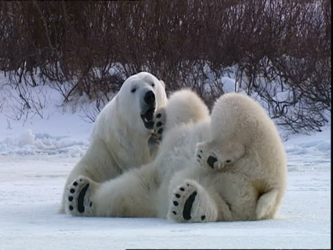 stockvideo's en b-roll-footage met polar bears (ursus maritimus) lying on snow, feet in air, near churchill, manitoba, canada - dierlijk gedrag