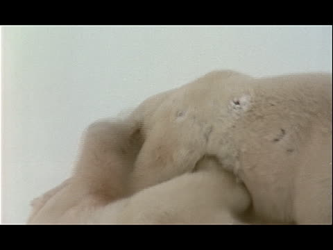 polar bears nip each other as they play. - other stock videos & royalty-free footage