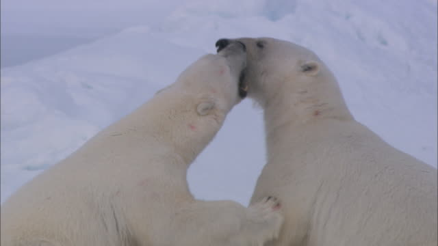 Polar bears nuzzle on the sea ice in Svalbard, Arctic Norway.