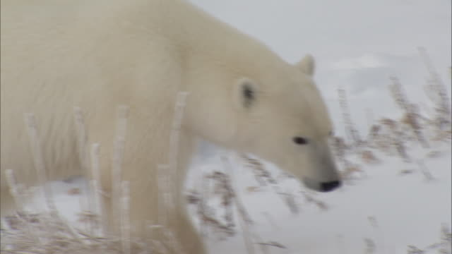 polar bears on the tundra near churchill canada - environment or natural disaster or climate change or earthquake or hurricane or extreme weather or oil spill or volcano or tornado or flooding stock videos & royalty-free footage