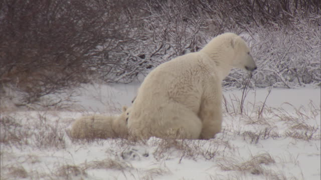 polar bears on the tundra near churchill, canada. - environment or natural disaster or climate change or earthquake or hurricane or extreme weather or oil spill or volcano or tornado or flooding stock videos & royalty-free footage
